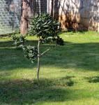 Zasadi stablo - ne budi panj. Pitospora zasađena prije dvije godine.
